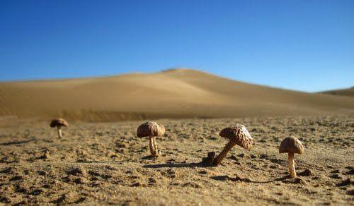 Desert champignons