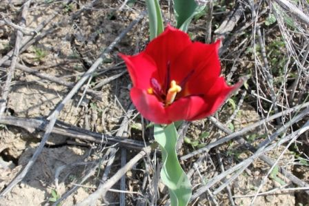 Shrenk's tulip