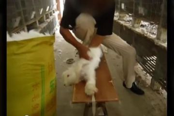 This screengrab of a video made by People for the Ethical Treatment of Animals shows Chinese farmers tearing the fur off angora rabbits strapped to wooden tables, appearing to be in agony. (YouTube)