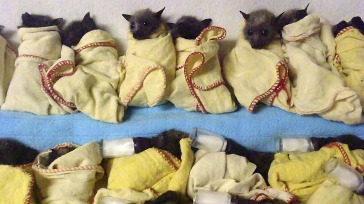 In this photo released by the Australian Bat Clinic, fifteen heat-stressed baby Flying Foxes (bats) are lined up ready to feed.