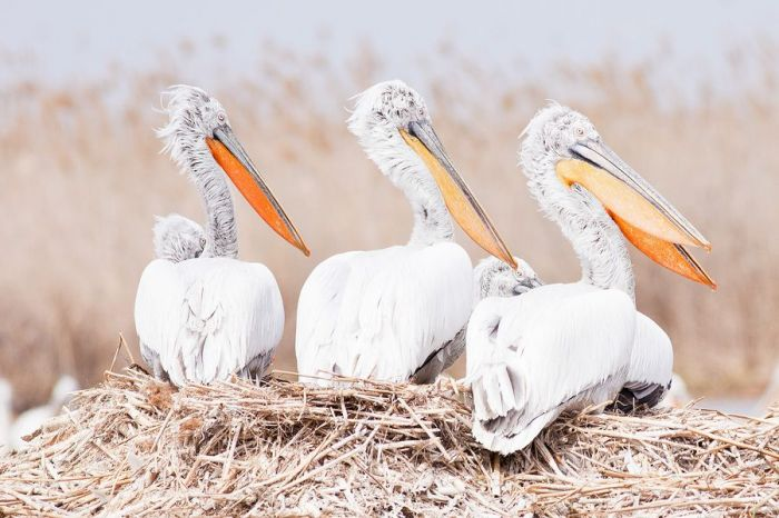 ​Death of pelicans: still a mystery