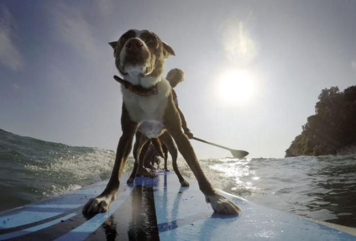 Australia's surfing dogs chase waves, not cats