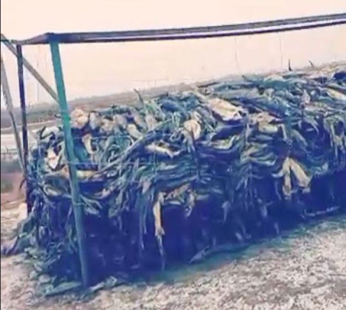 Silence surrounding the death of 36 thousand sturgeon