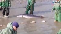 Beluga weighing almost 150kg caught at the mouth of the Ural river