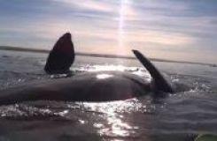 Ірі кит адамдар отырған қайықты арқасына салып, біраз жерге дейін апарды.