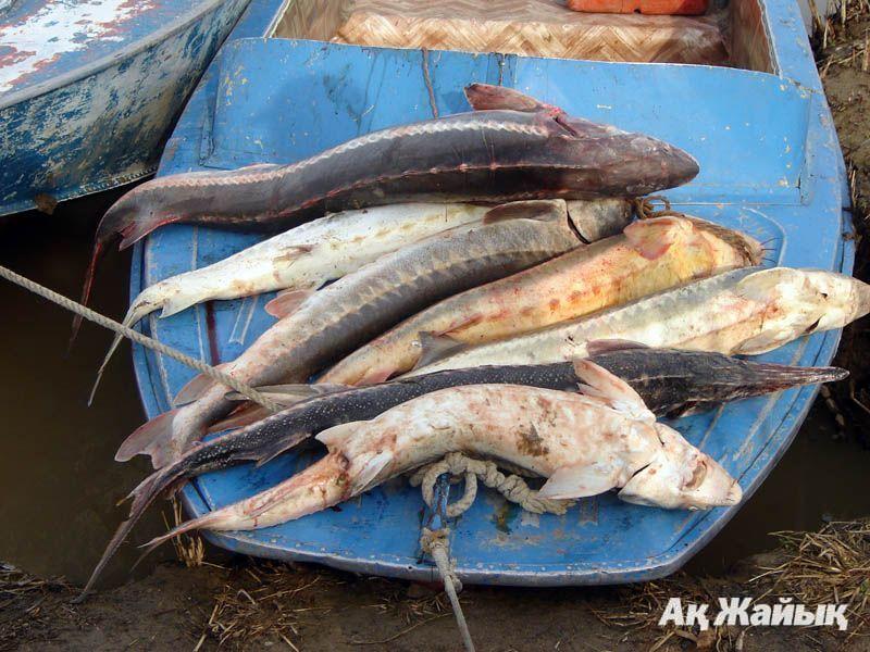 рыбалка. ловля осетровых