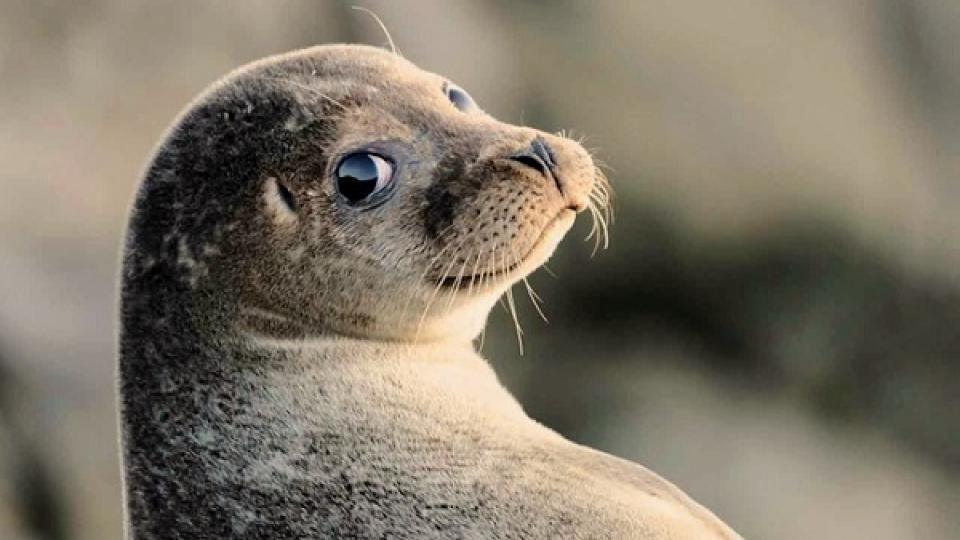 Тюлень помог арестовать наркоторговцев в Австралии
