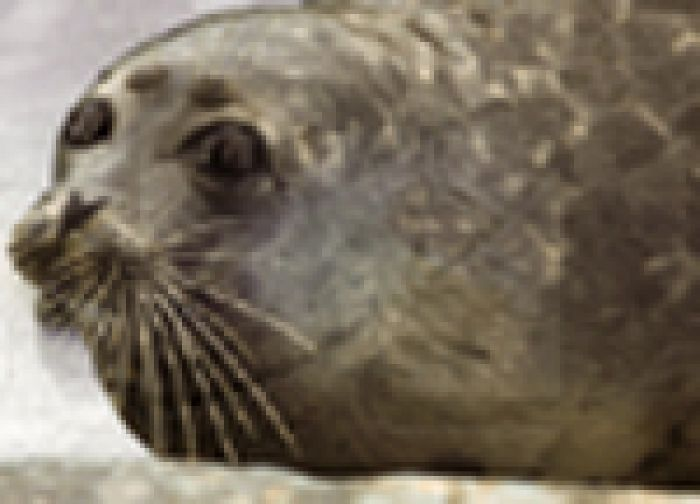 Тюлень исчезнет из-за недоедания?