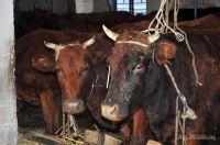 Неизвестно, от чего гибнет скот