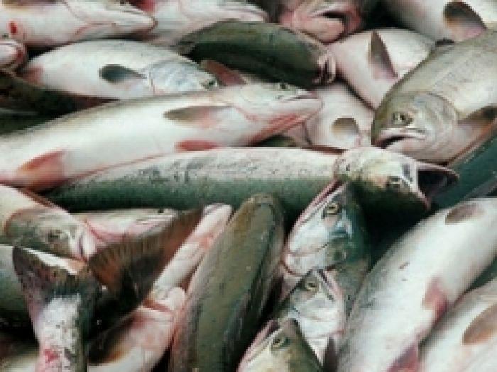 Рыбаки поздравляют друг друга: рыба пошла!