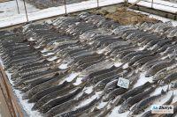 Массовая гибель рыбы в Урале: «Может, этим и КНБ занимается, мы же не знаем»