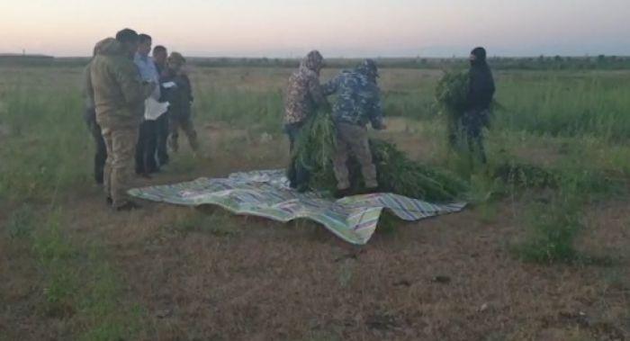 615 кг скошенной дикорастущей марихуаны обнаружили у мужчины в Жамбылской области