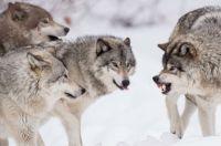 Волки достали – пишет аким в акимат