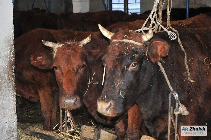 За двух коров – пять лет тюрьмы