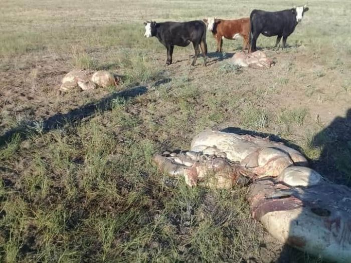 От безнадзорных коров остались только кишки