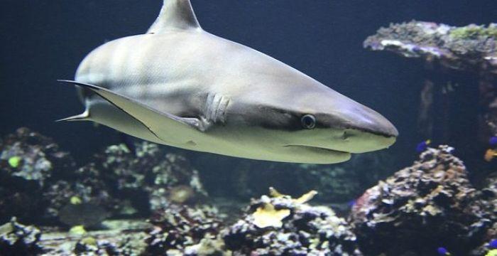 Полмиллиона акул могут быть убиты для изготовления вакцин от коронавируса