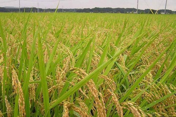 Посевы риса сократят в Кызылординской области