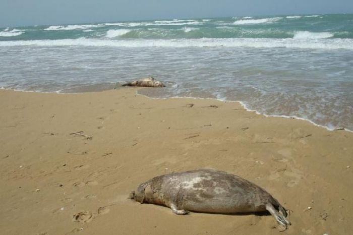 Сотни мертвых тюленей нашли на берегу Каспия