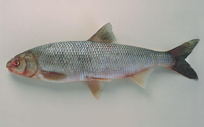 Рыба кутум возвращается, но ловить её по-прежнему нельзя