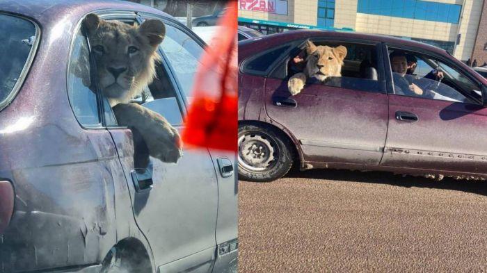 Лев в салоне автомобиля: в Минэкологии озвучили подробности