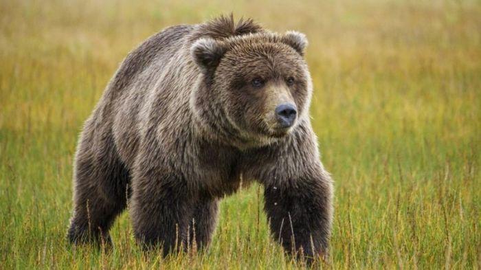 Выживший. Американец неделю скрывался от преследовавшего его медведя, пока его случайно не спасли