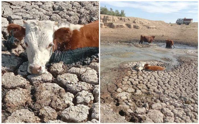 Коровы шли на водопой, а попали в болотную ловушку