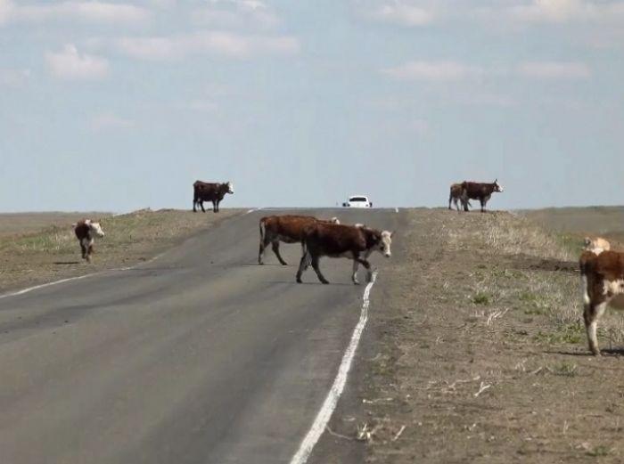 Скот отвадят от выхода на трассу неприятными ударами тока