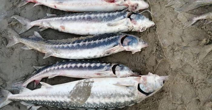 В Мангистау задержали браконьера с крупной партией рыбы осетровых пород