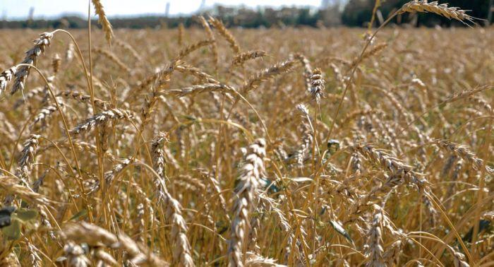 Урожайность пшеницы может снизиться почти на 40%: Токаев о проблеме климата в ЦА