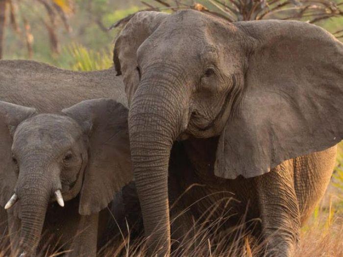 Из-за браконьеров африканские слоны перестали отращивать бивни